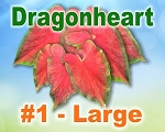 Dragon Heart Caladiums - Large Bulbs