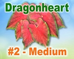 Dragon Heart Caladiums - Medium Bulbs