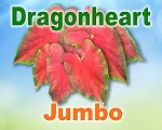 Dragon Heart Caladiums - Jumbo Bulbs