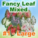 Mixed Color Caladiums - Large Bulbs by Count