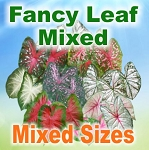 Mix Color Caladiums - Mixed Sizes