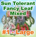 Sun Tolerant Fancy Leaf Mix - Large Bulbs by Count