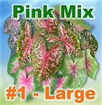 Pink Mix Caladiums - Large Bulbs by Count
