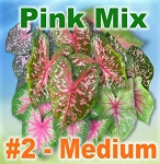Pink Mix Caladiums - Medium Bulbs by Count