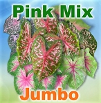 Pink Mix Caladiums - Jumbo Bulbs by Count