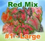 Red Mix Caladiums - Large Bulbs by Count