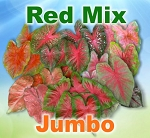 Red Mix Caladiums - Jumbo Bulbs