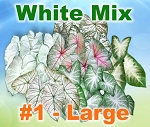 White Mix Caladiums - Large Bulbs by Count