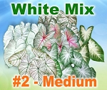 White Mix Caladiums - Medium Bulbs by Count