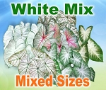 White Mix Caladiums - Mixed Sizes