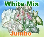 White Mix Caladiums - Jumbo Bulbs