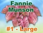 Fannie Munson Caladiums - Large Bulbs by Count