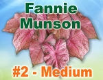 Fannie Munson Caladiums - Medium Bulbs by Count