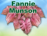 Fannie Munson Caladiums - Mixed Sizes