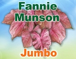 Fannie Munson Caladiums - Jumbo Bulbs by Count