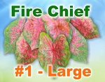 Fire Chief Caladiums - Large Bulbs by Count