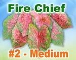 Fire Chief Caladiums - Medium Bulbs