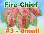 Fire Chief Caladiums - Small Bulbs