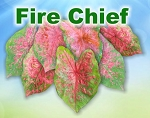 Fire Chief Caladiums - Mixed Sizes