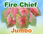 Fire Chief Caladiums - Jumbo Bulbs