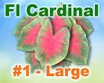 Florida Cardinal Caladiums -  Large Bulbs by Count
