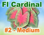Florida Cardinal Caladiums -  Medium Bulbs by Count