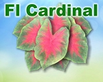Florida Cardinal Caladiums - Mixed Sizes