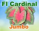 Florida Cardinal Caladiums -  Jumbo Bulbs by Count
