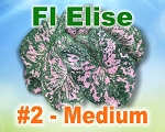 Florida Elise Caladiums -  Medium Bulbs