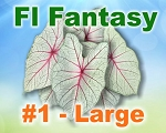 Florida Fantasy Caladiums -  Large Bulbs by Count