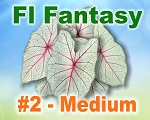 Florida Fantasy Caladiums -  Medium Bulbs by Count