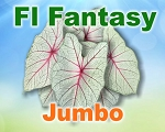 Florida Fantasy Caladiums -  Jumbo Bulbs