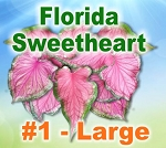 FL Sweetheart Caladiums - Large Bulbs