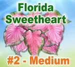 FL Sweetheart Caladiums - Medium Bulbs