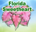 Fl Sweetheart Caladiums - Mixed Sizes