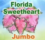 FL Sweetheart Caladiums - Jumbo Bulbs