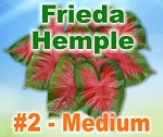 Frieda Hemple Caladiums - Medium Bulbs by Count