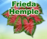 Frieda  Hemple Caladiums - Mixed Sizes
