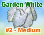 Garden White Caladiums -  Medium Bulbs by Count