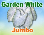 Garden White Caladiums -  Jumbo Bulbs by Count
