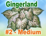 Gingerland Caladiums - Medium Bulbs