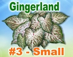 Gingerland Caladiums - Small Bulbs