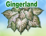 Gingerland Caladiums - Mixed Sizes