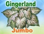 Gingerland Caladiums - Jumbo Bulbs by Count