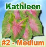 Kathleen Caladiums - Medium Bulbs by Count