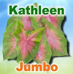 Kathleen Caladiums - Jumbo Bulbs