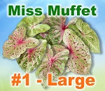 Miss Muffet Caladiums - Large Bulbs
