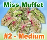 Miss Muffet Caladiums - Medium Bulbs
