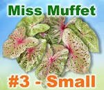 Miss Muffet Caladiums - Small Bulbs