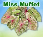 Miss Muffet Caladiums - Mixed Sizes